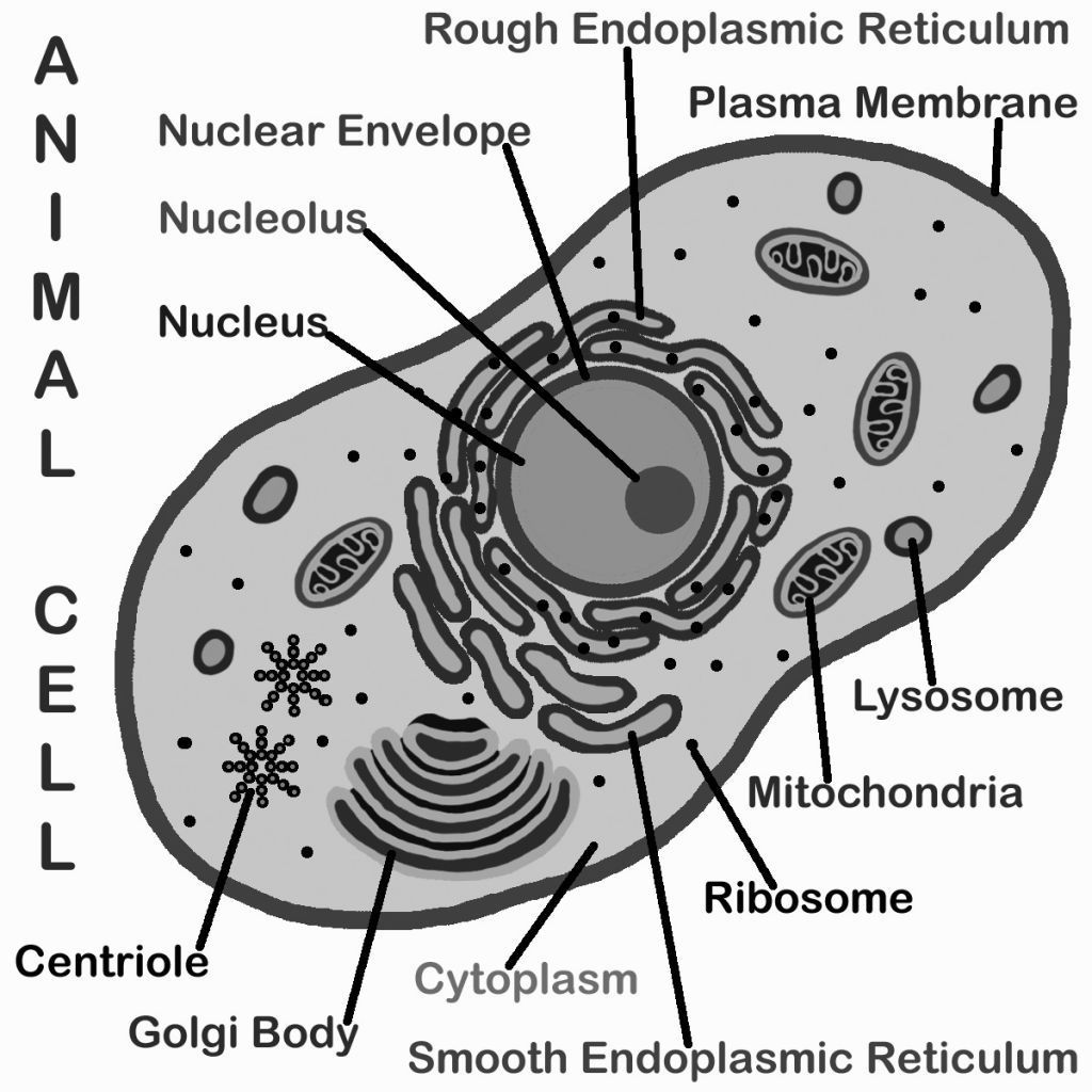 animal cell diagram coloring animal cell diagram coloring coloring cell animal diagram