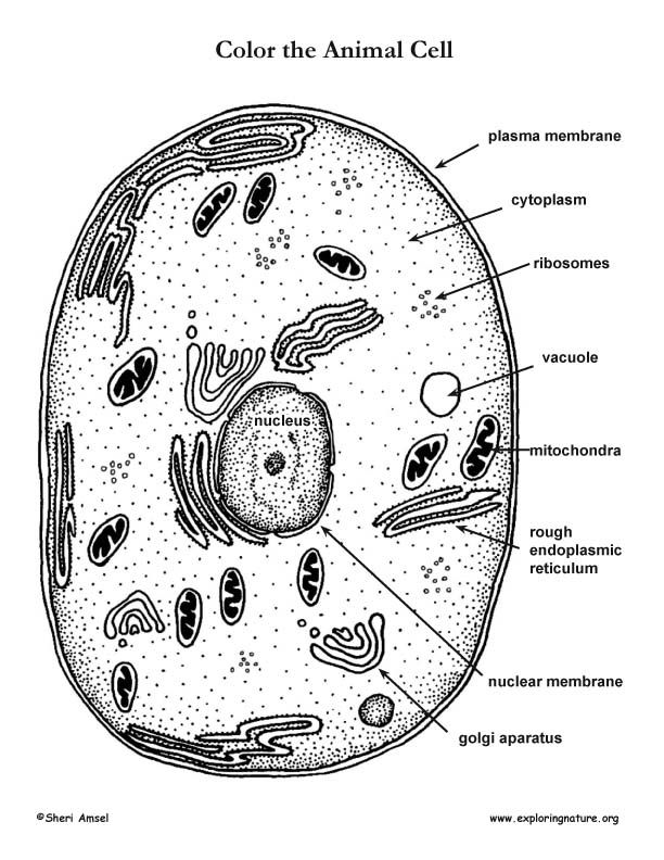 animal cell diagram coloring simple animal cell drawing at getdrawings free download animal cell coloring diagram