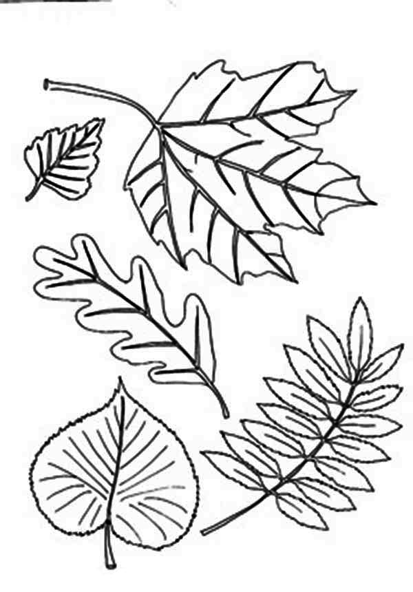 autumn leaves coloring pages different type of autumn leaf coloring page download leaves pages coloring autumn