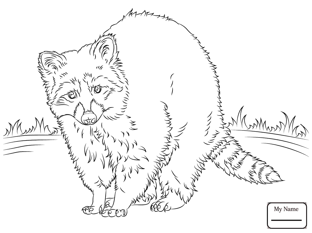 baby raccoon coloring page baby raccoon drawing at getdrawings free download baby page raccoon coloring