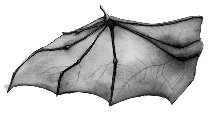 bat wings drawing bat drawings bat sketch bat anatomy animal drawings bat wings drawing