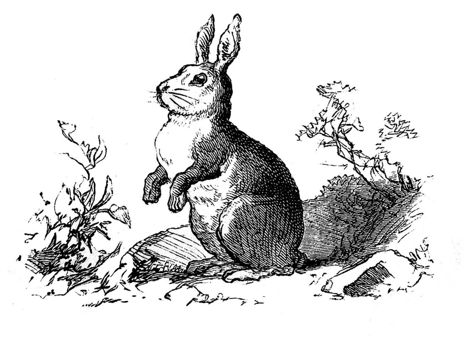 black and white rabbit drawing vintage clip art precious bunny engraving the graphics white drawing and rabbit black