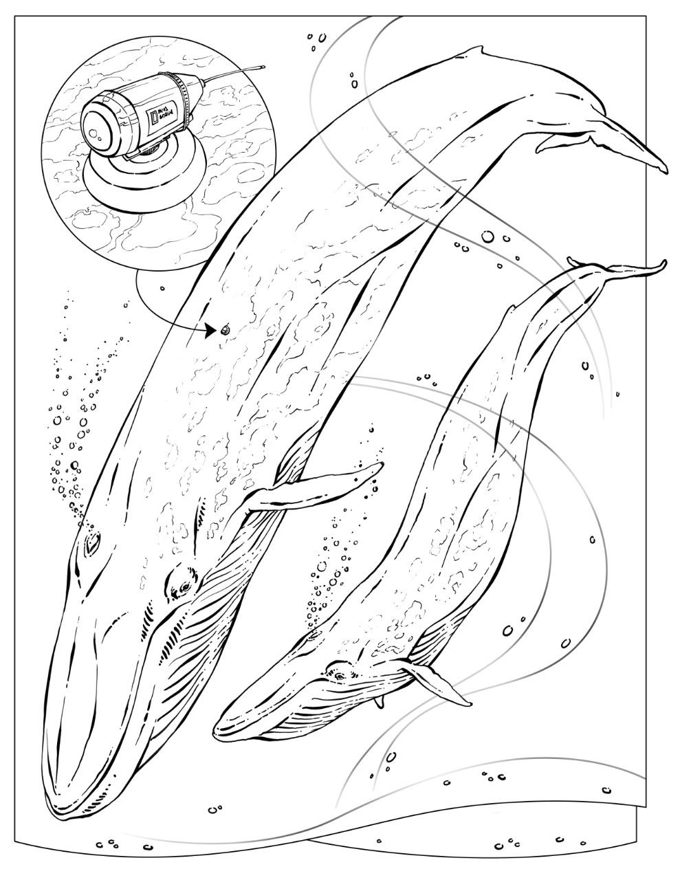 blue whale colour coloring book animals a to i coloring pages nature blue whale colour