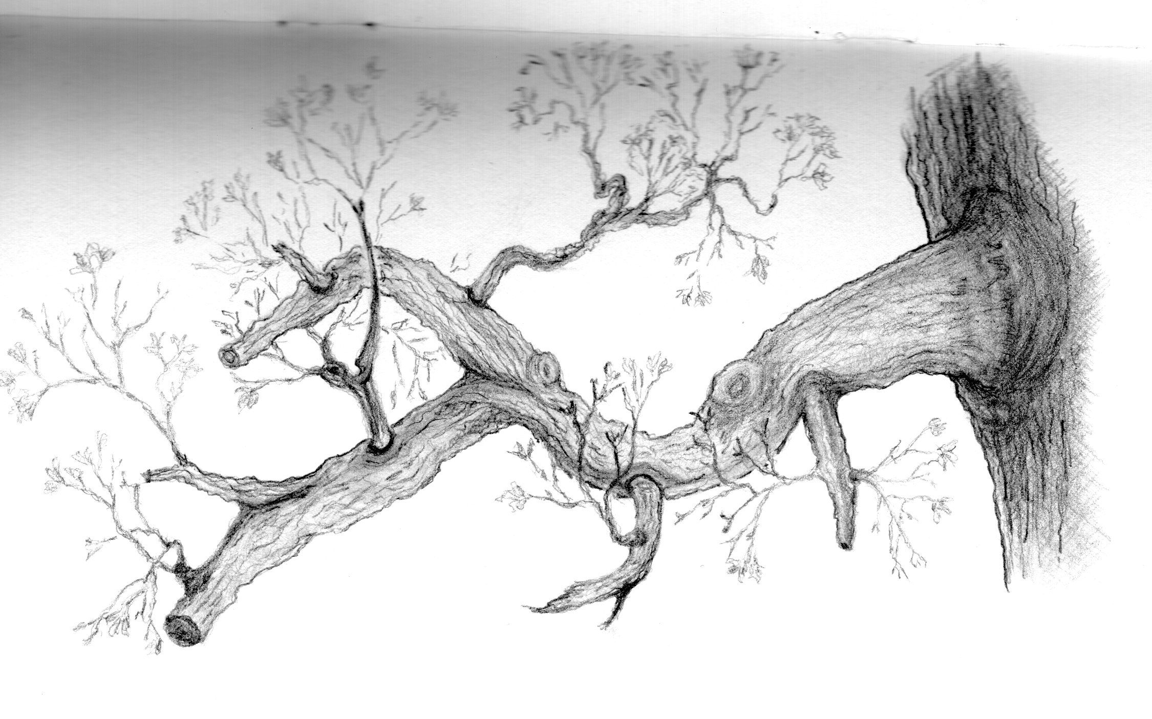 branch drawing 6 tree branch drawing png transparent onlygfxcom branch drawing