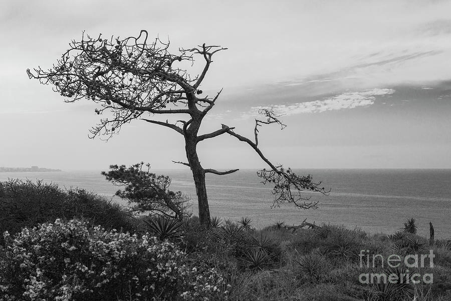 california state tree a lone pine tree at torrey pines state natural reserve la tree state california