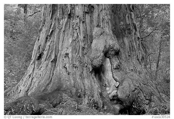 california state tree black and white picturephoto base of redwood tree named california tree state