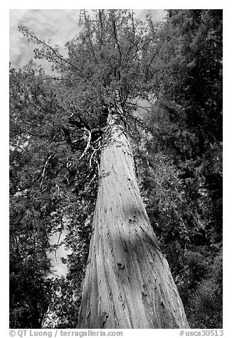 california state tree black and white picturephoto redwood tree looking tree state california