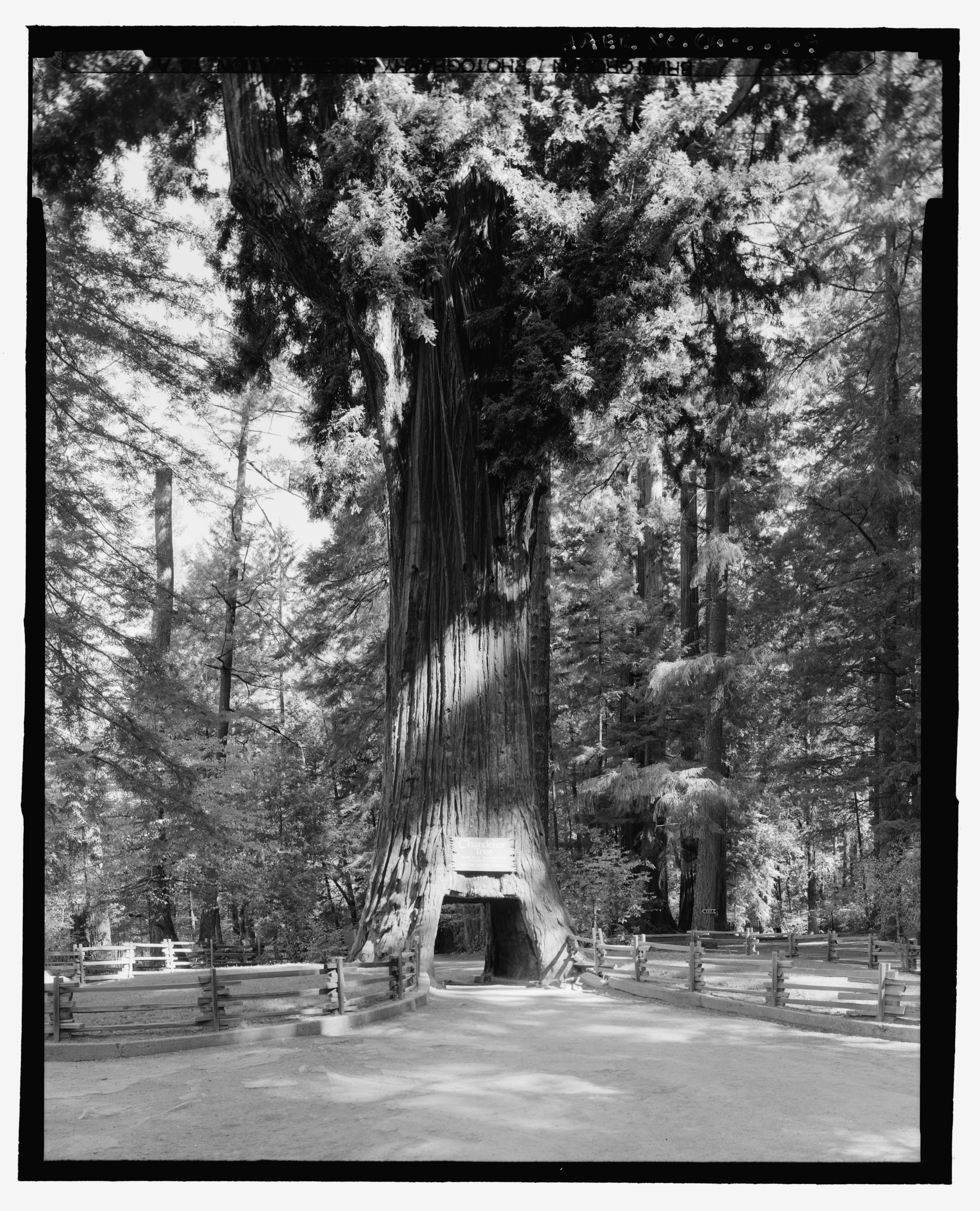 california state tree crannell creek giant coast redwood lindsey creek giant california state tree