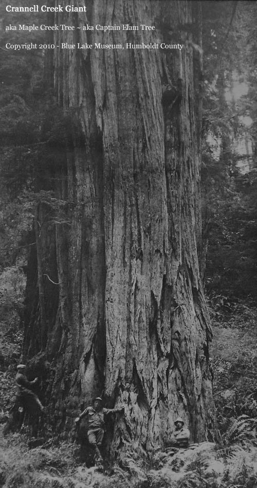 california state tree fileamerican chestnut tree at rear of house looking west state tree california