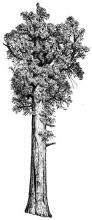 california state tree the big trees of california 1907 quothabits and state tree california