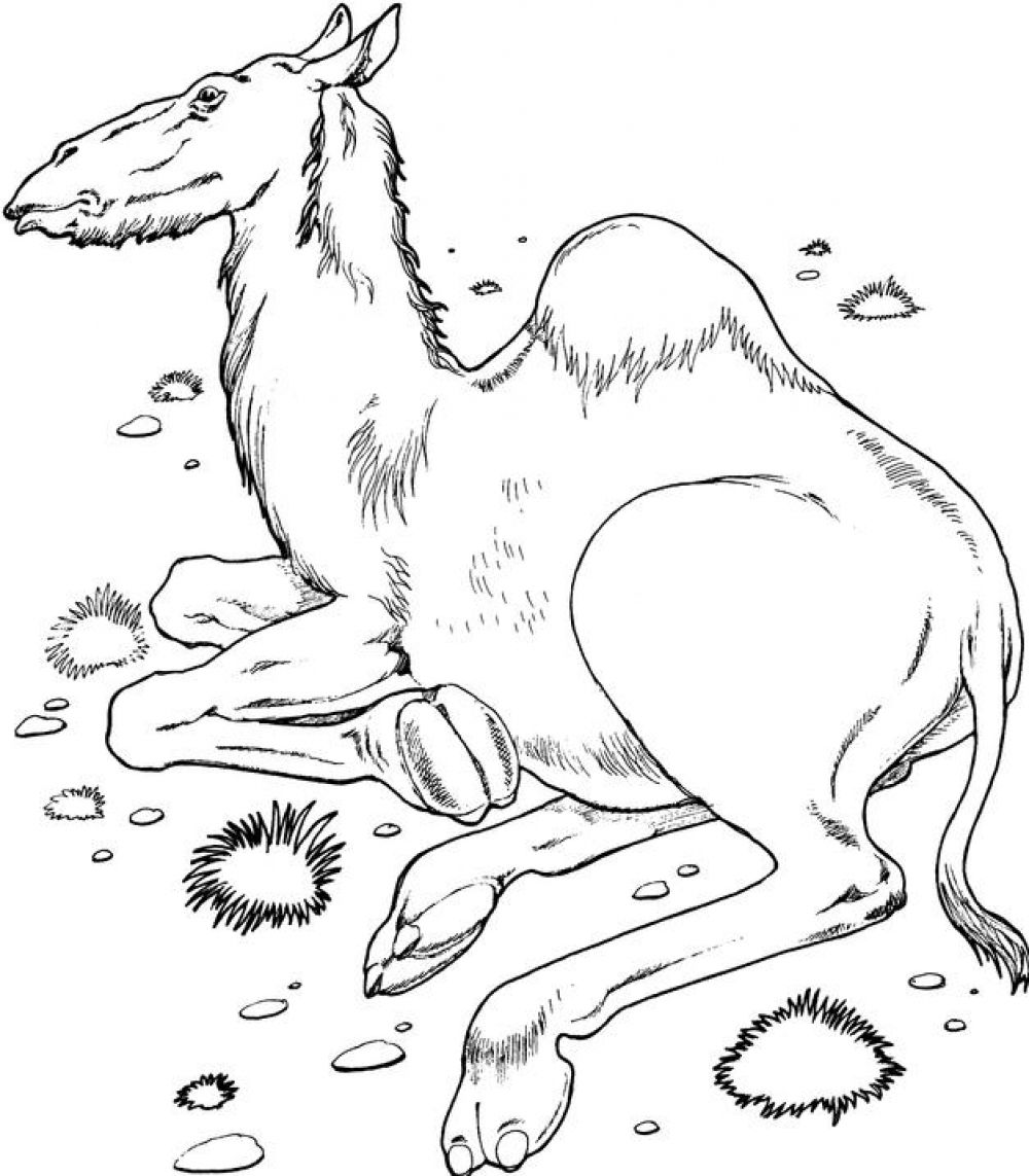 camel pictures to colour free printable camel coloring pages for kids to colour pictures camel 1 1