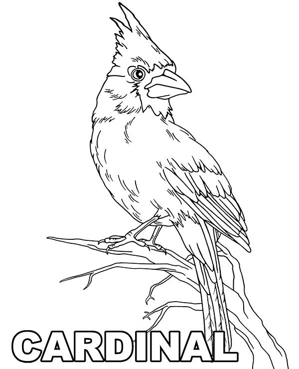 cardinal coloring page cardinal this download consists of one image in png format cardinal page coloring