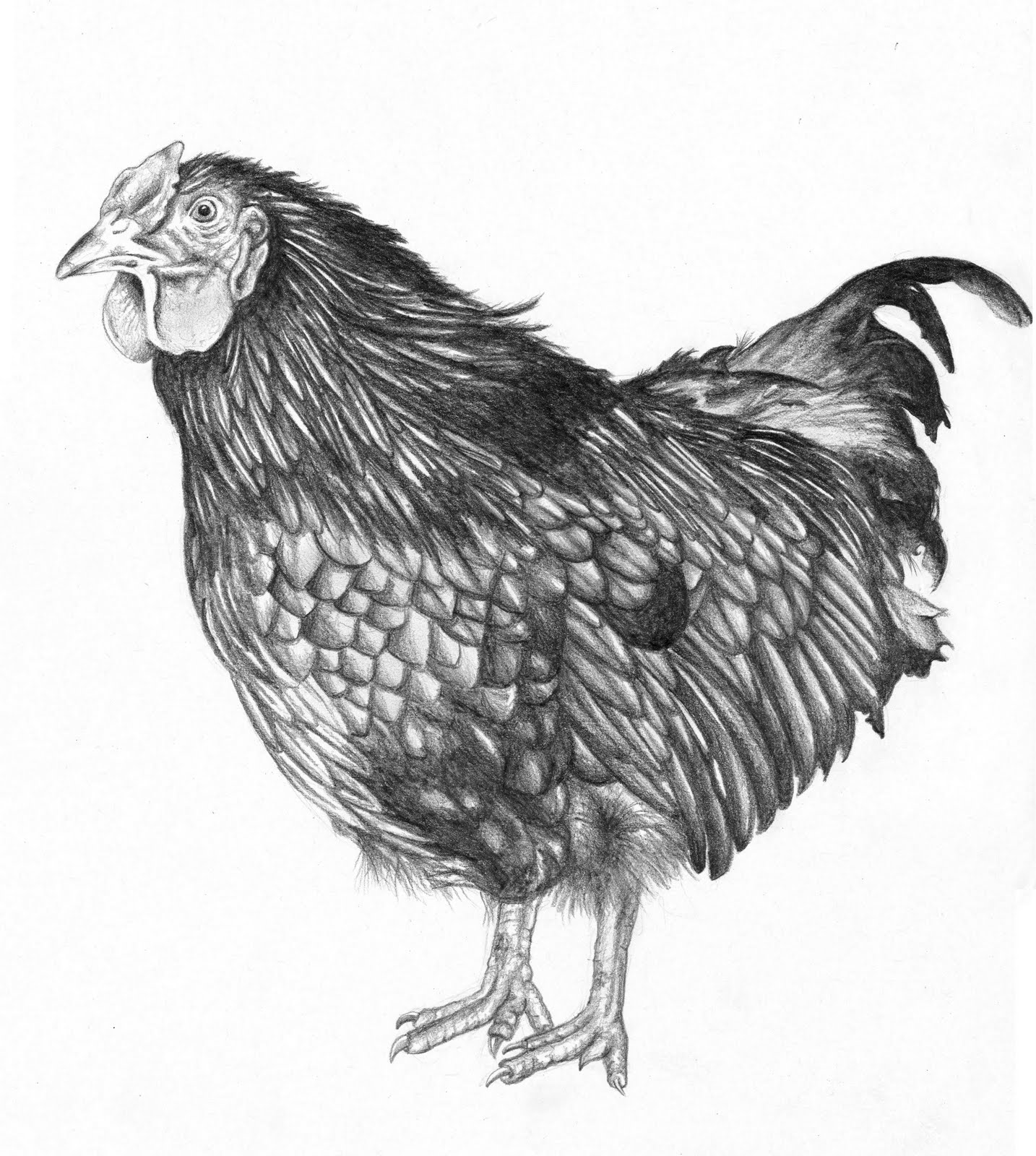 chicken drawings cat39s scratches preliminary drawings chicken drawings