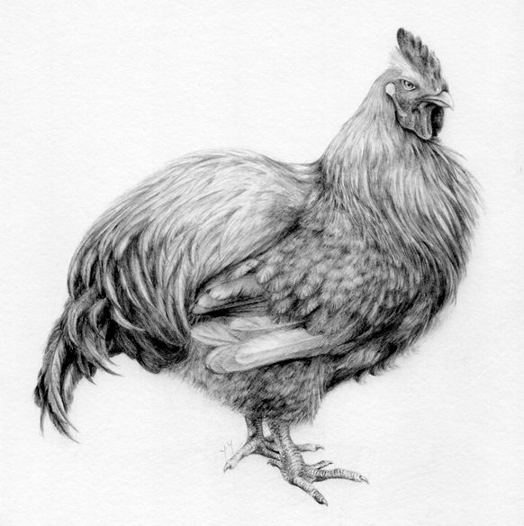 chicken drawings chicken a drawing by yy 2011 graphite pencil on square chicken drawings