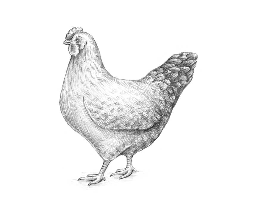 chicken drawings chicken drawing clip art chick png download 39065139 drawings chicken