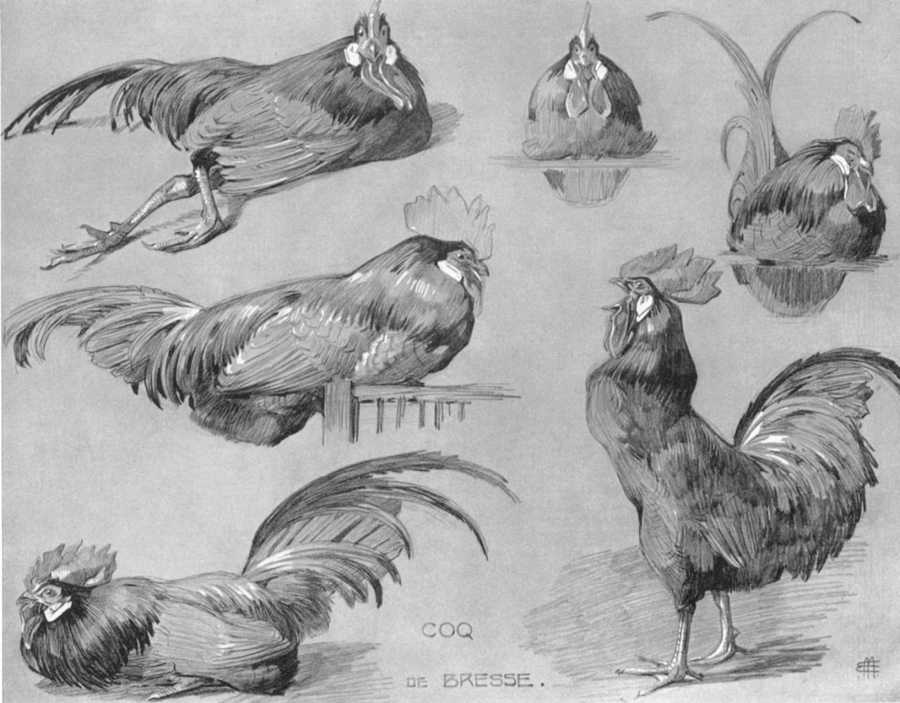 chicken drawings chicken drawing reference and sketches for artists chicken drawings