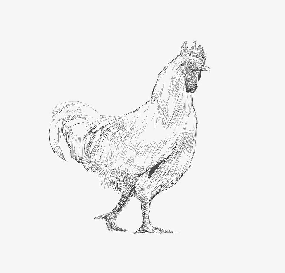 chicken drawings chicken drawing reference and sketches for artists drawings chicken 1 1