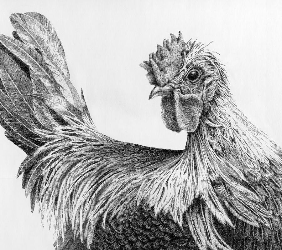 chicken drawings regal rooster drawing by carol livingston drawings chicken