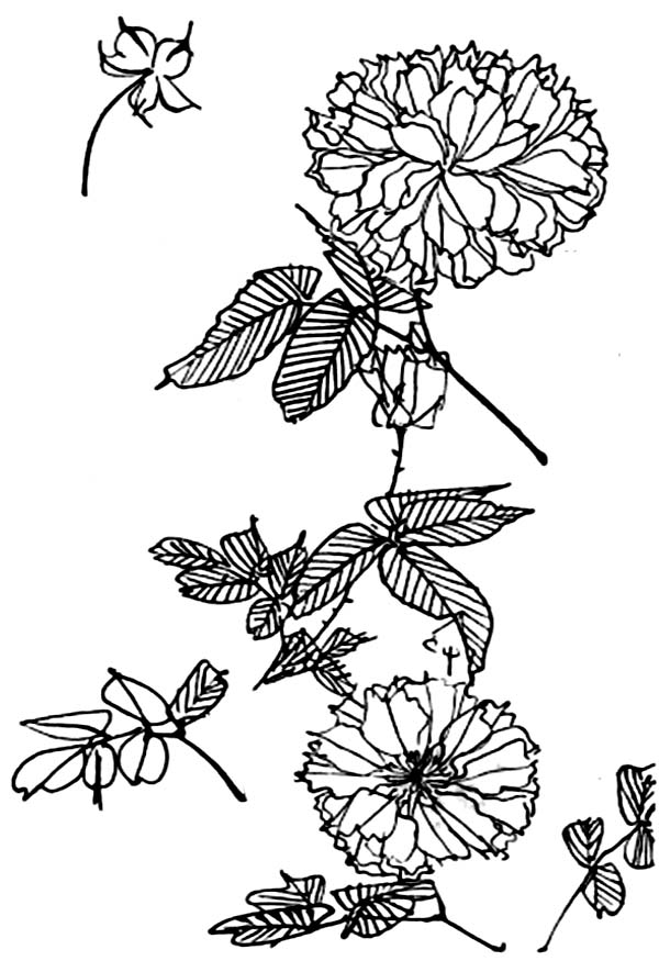 chrysanthemum coloring pages awesome picture of chrysanthemum coloring page awesome coloring chrysanthemum pages