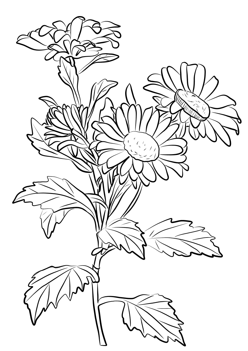chrysanthemum coloring pages chrysanthemum coloring page for adults and kids mama coloring chrysanthemum pages