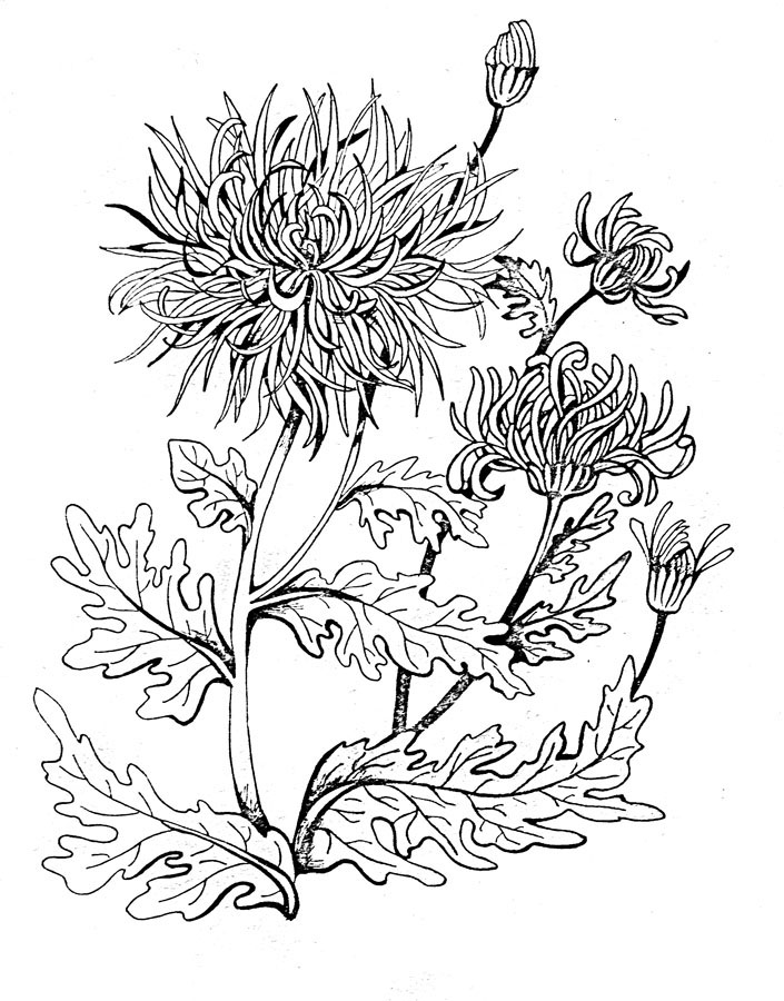 chrysanthemum coloring pages chrysanthemum coloring pages to download and print for free pages chrysanthemum coloring