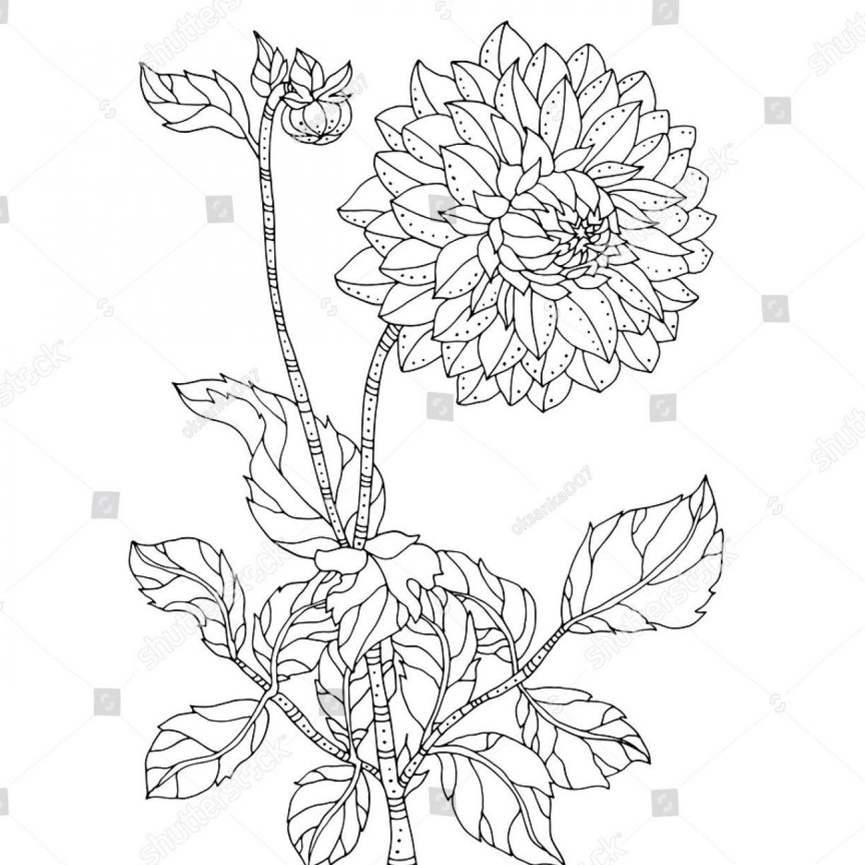 chrysanthemum coloring pages chrysanthemums drawing at getdrawings free download chrysanthemum coloring pages