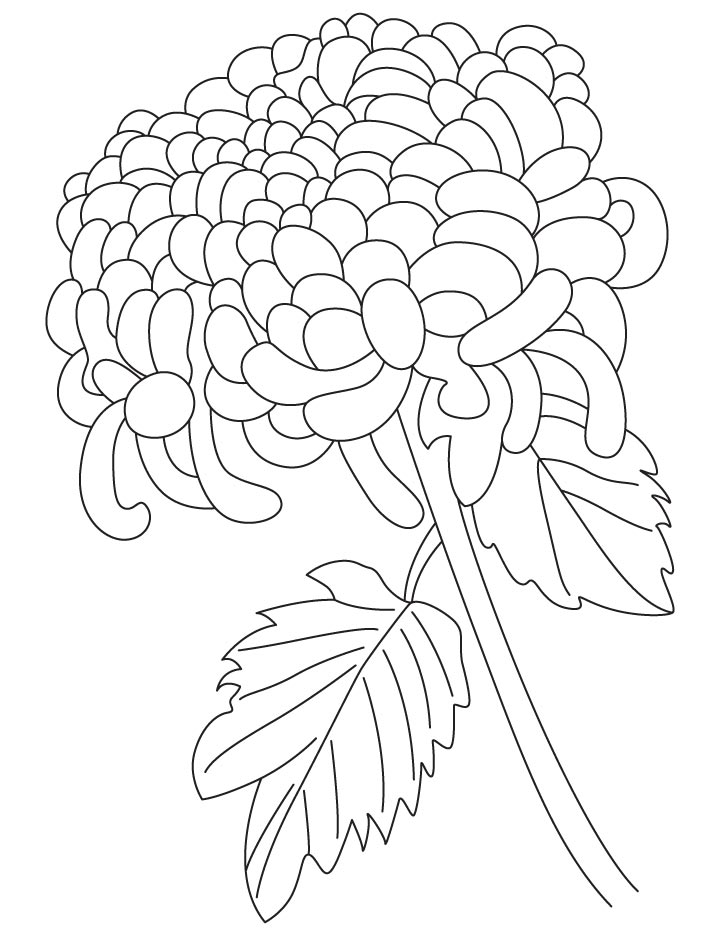 chrysanthemum coloring pages chrysanthemums drawing at getdrawings free download coloring chrysanthemum pages