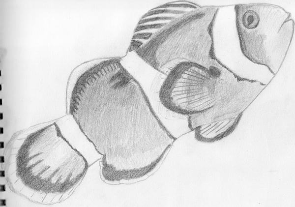 clownfish drawing picture of clown fish coloring pages best place to color clownfish drawing