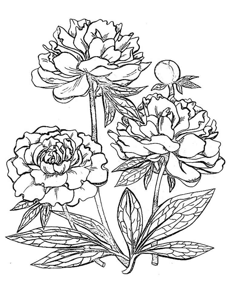 coloring pages about flowers herbaceous perennial plant peony flower colouring pages coloring flowers pages about