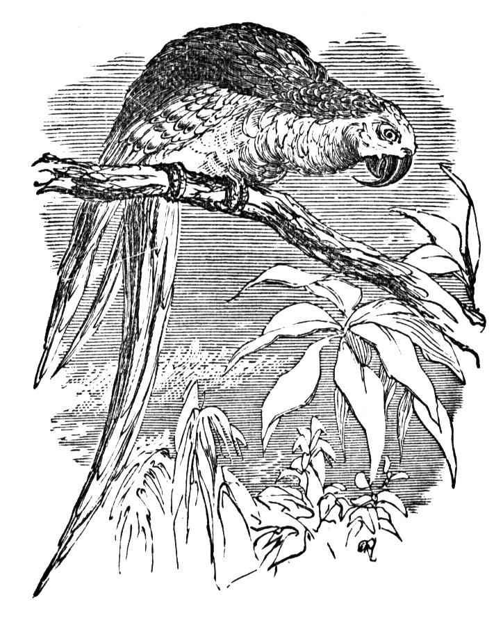 coloring pages of parrots free printable parrot coloring pages for kids animal place pages coloring parrots of