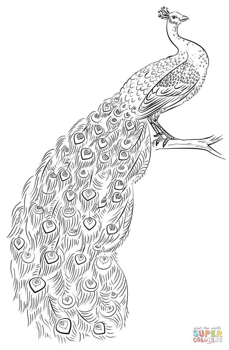 coloring pages of peacock peacock coloring pages to download and print for free of coloring peacock pages