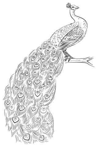 coloring peacock color page peacock coloring page free printable coloring pages page color coloring peacock