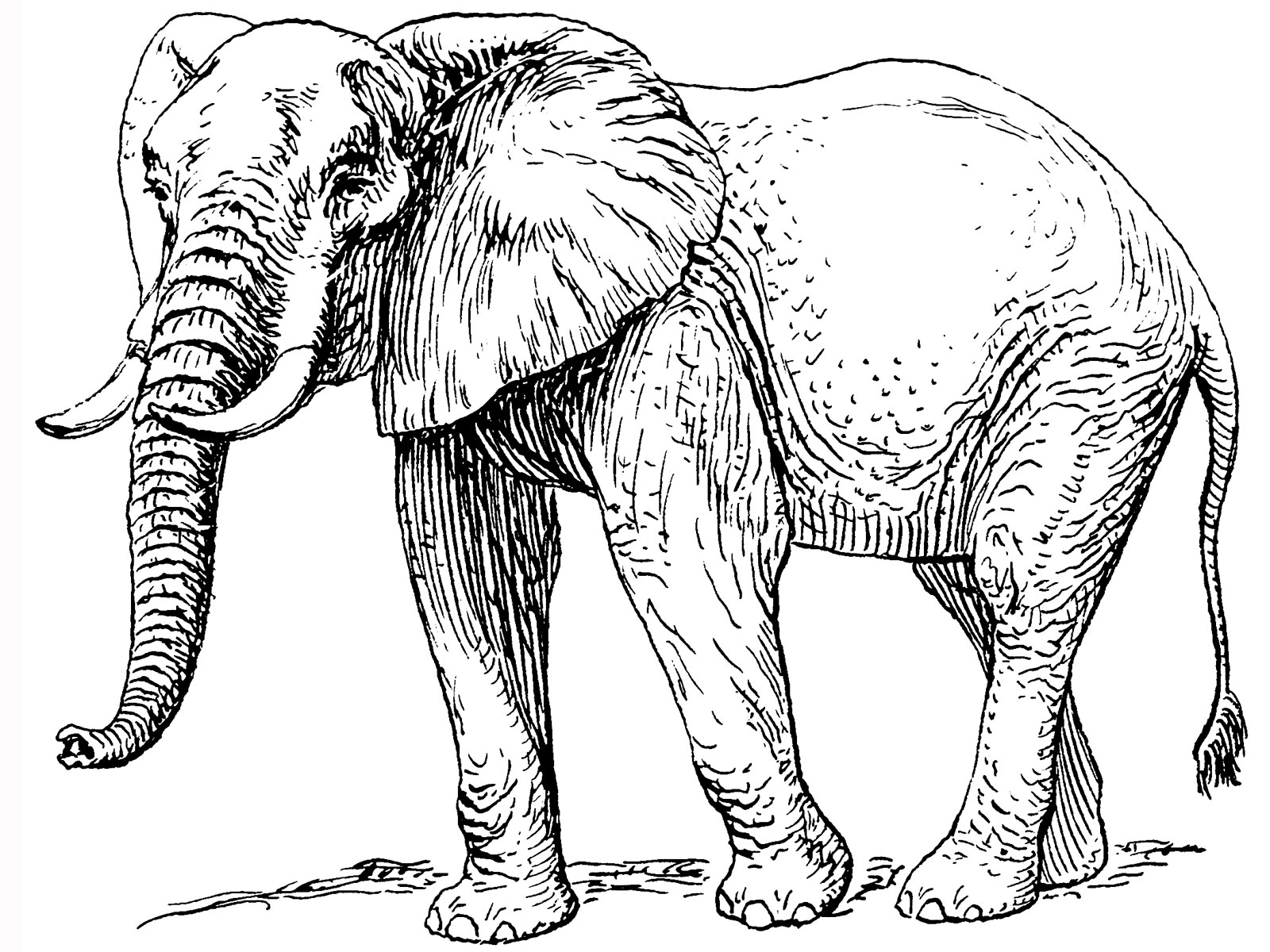 coloring pics of elephant elephant and the baby elephant pics of elephant coloring