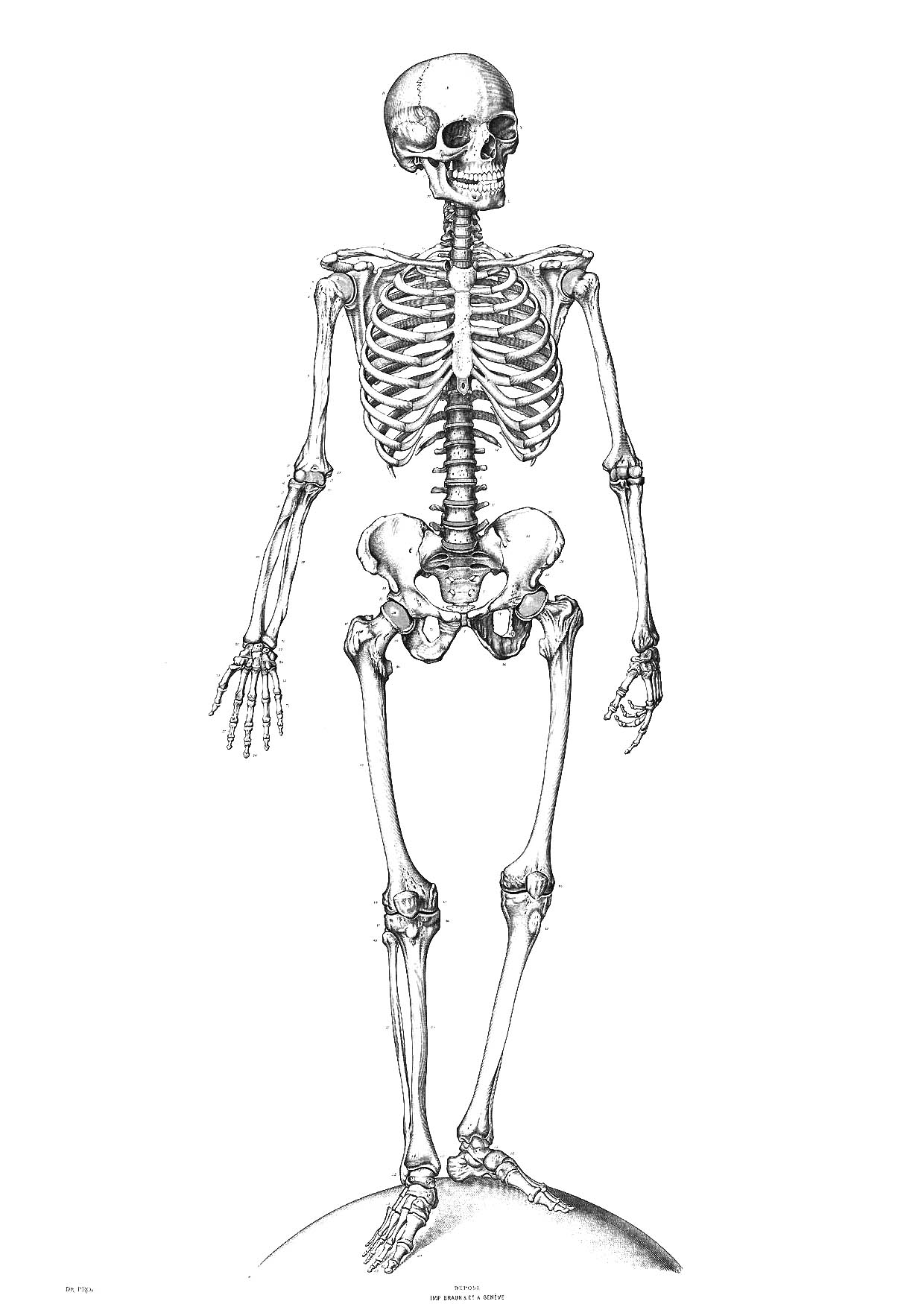coloring picture of skeleton free printable skeleton coloring pages for kids human of skeleton picture coloring