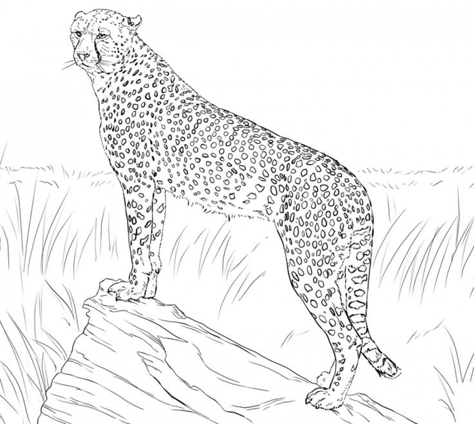 coloring pictures of cheetahs cheetah coloring pages free printable cheetah coloring pages cheetahs pictures of coloring