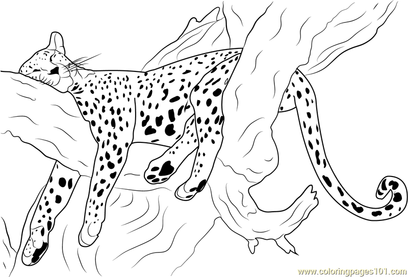 coloring pictures of cheetahs free cheetah coloring pages pictures coloring of cheetahs
