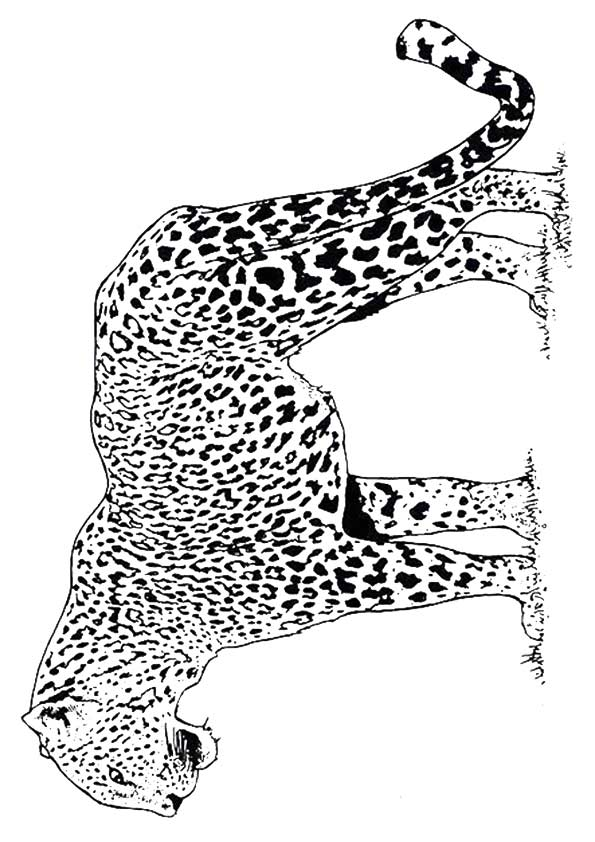 coloring pictures of cheetahs freebie friday cheetah coloring page cheetahs pictures of coloring