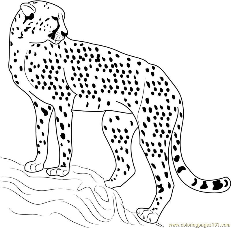 coloring pictures of cheetahs printable cheetah coloring pages for kids cheetahs pictures of coloring