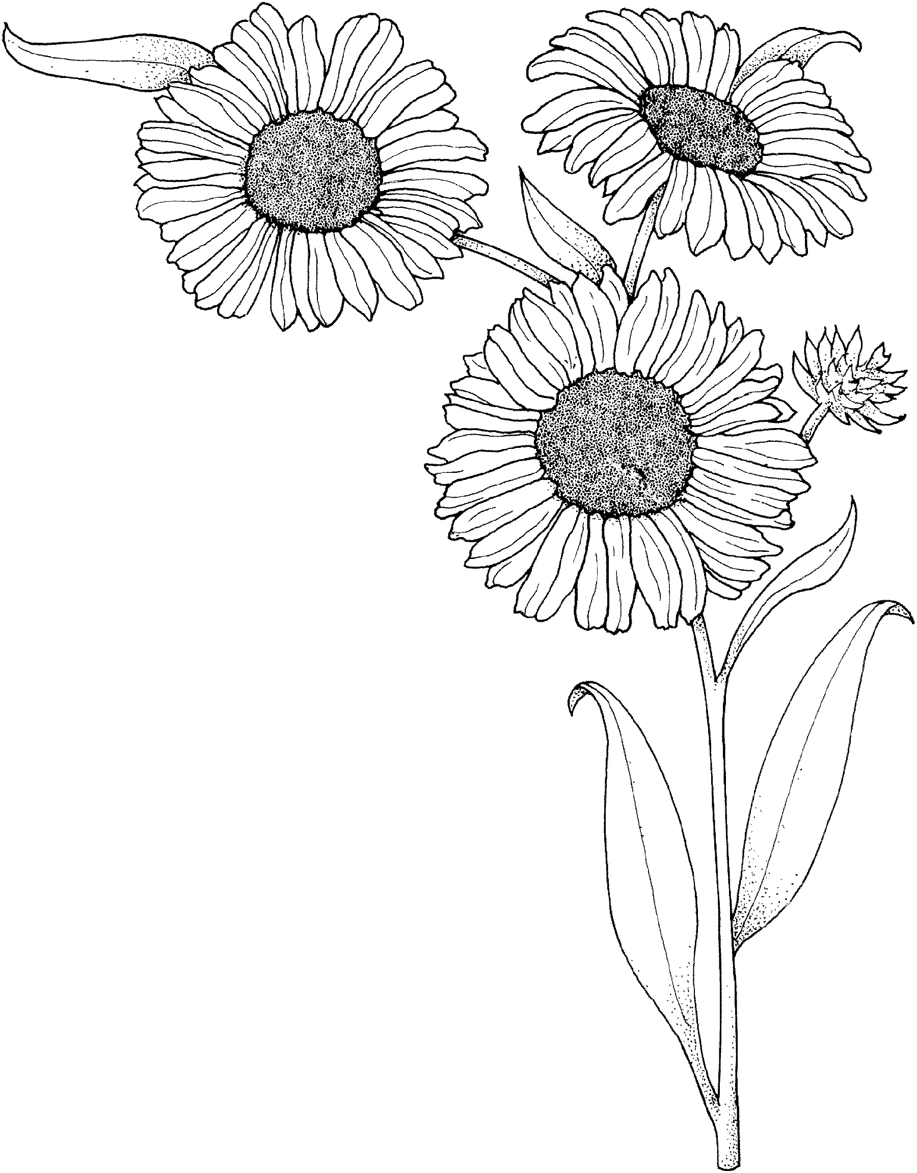 coloring sunflower picture sunflower coloring page k5 worksheets coloring picture sunflower