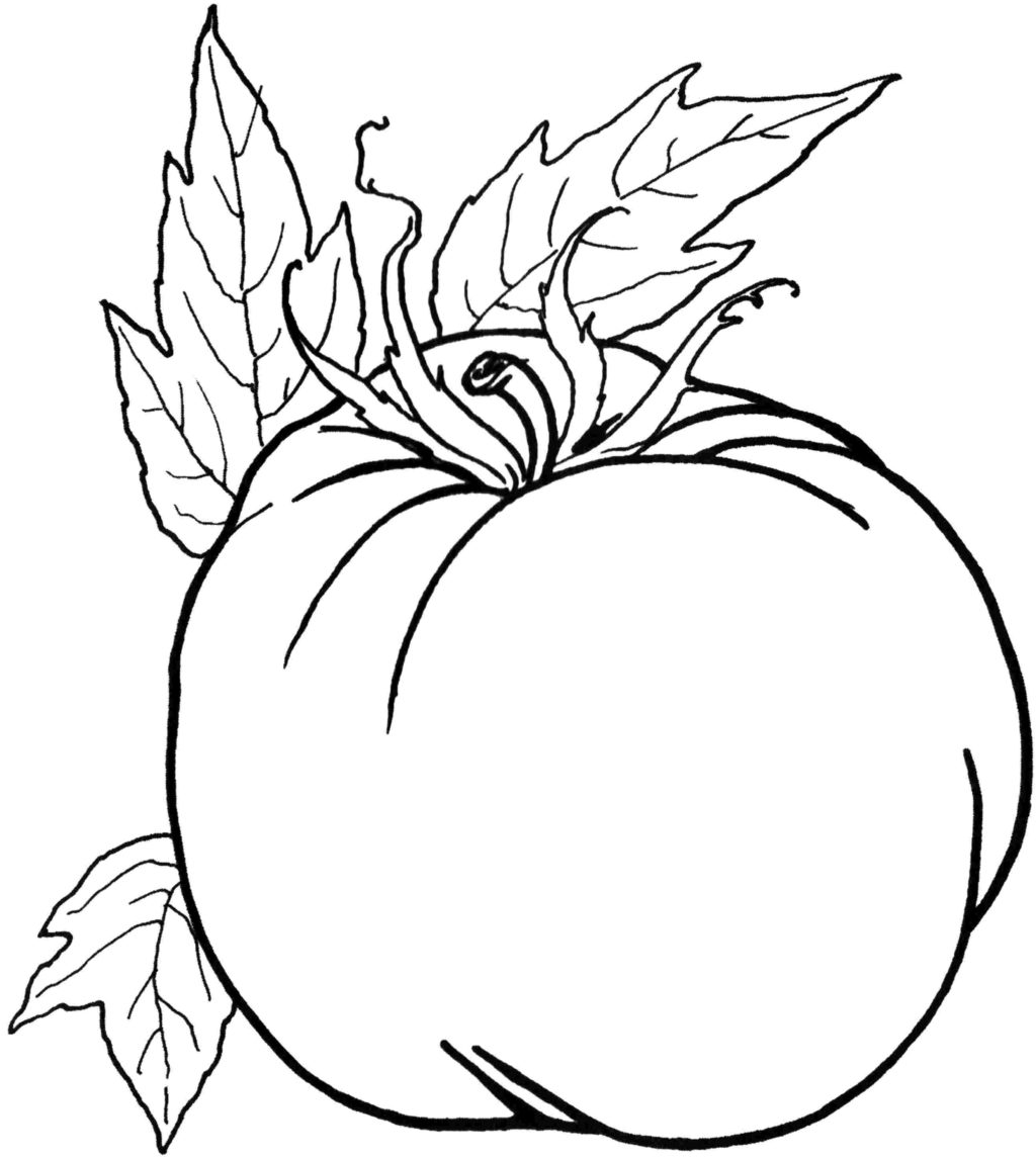 coloring tomato outline tomato line drawing at getdrawings free download outline coloring tomato