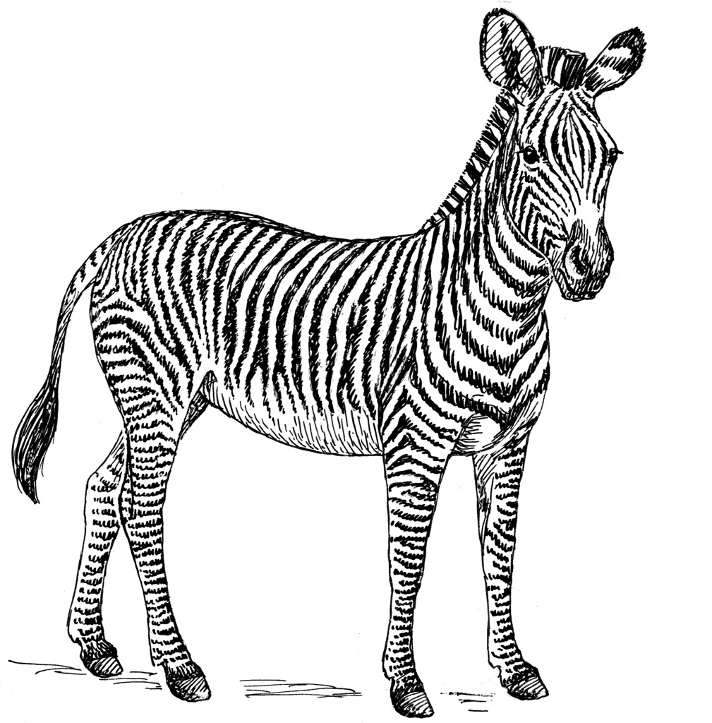 coloring zebra pictures zebra coloring pages amp blogger design coloring zebra pictures