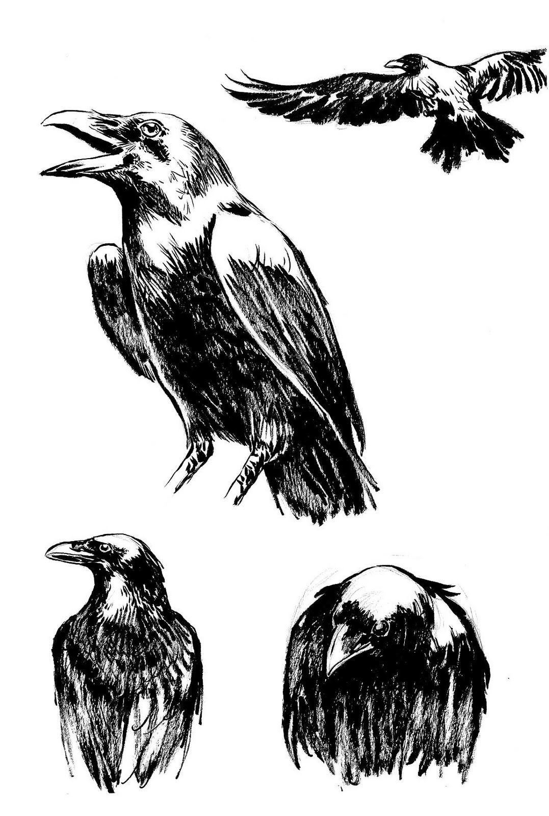 crow head drawing face clipart crow face crow transparent free for download crow drawing head