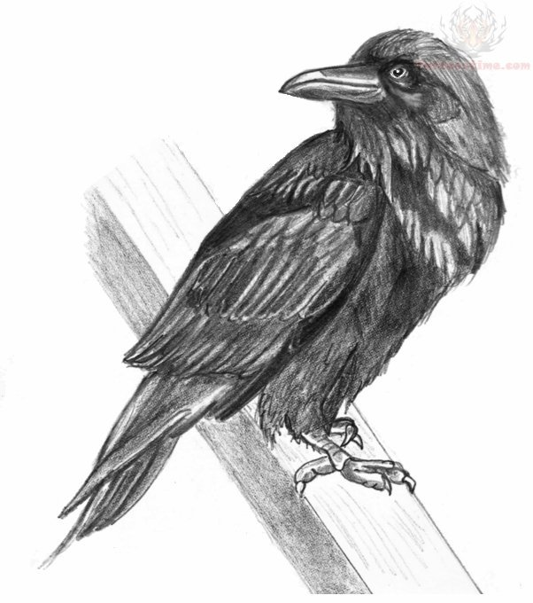 crow head drawing portrait of a crow with head turned looking in black and head crow drawing