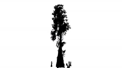 cypress tree silhouette search photos quotbranches are staggeringquot cypress tree silhouette