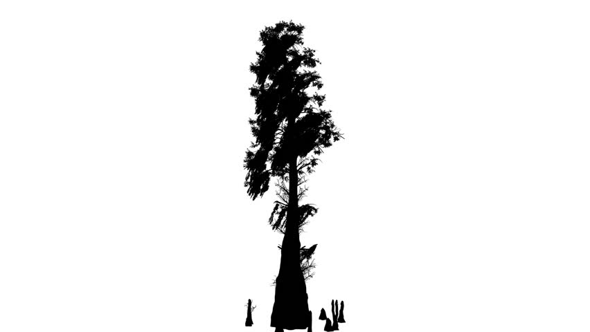 cypress tree silhouette these domes are a collection of bald andor pond cypress silhouette tree cypress