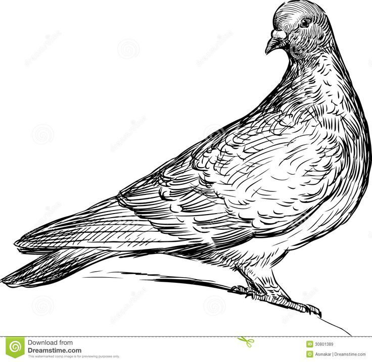 detailed dove drawing 855 best images about birds on pinterest detailed dove drawing