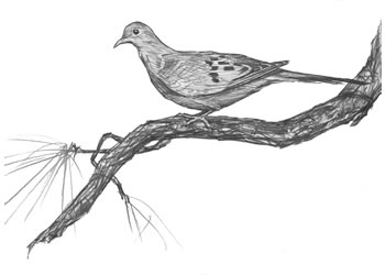 detailed dove drawing a simple dove drawing guide my take on how to draw a dove detailed dove drawing