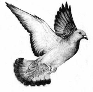 detailed dove drawing birds pencil drawings 2 on behance detailed dove drawing