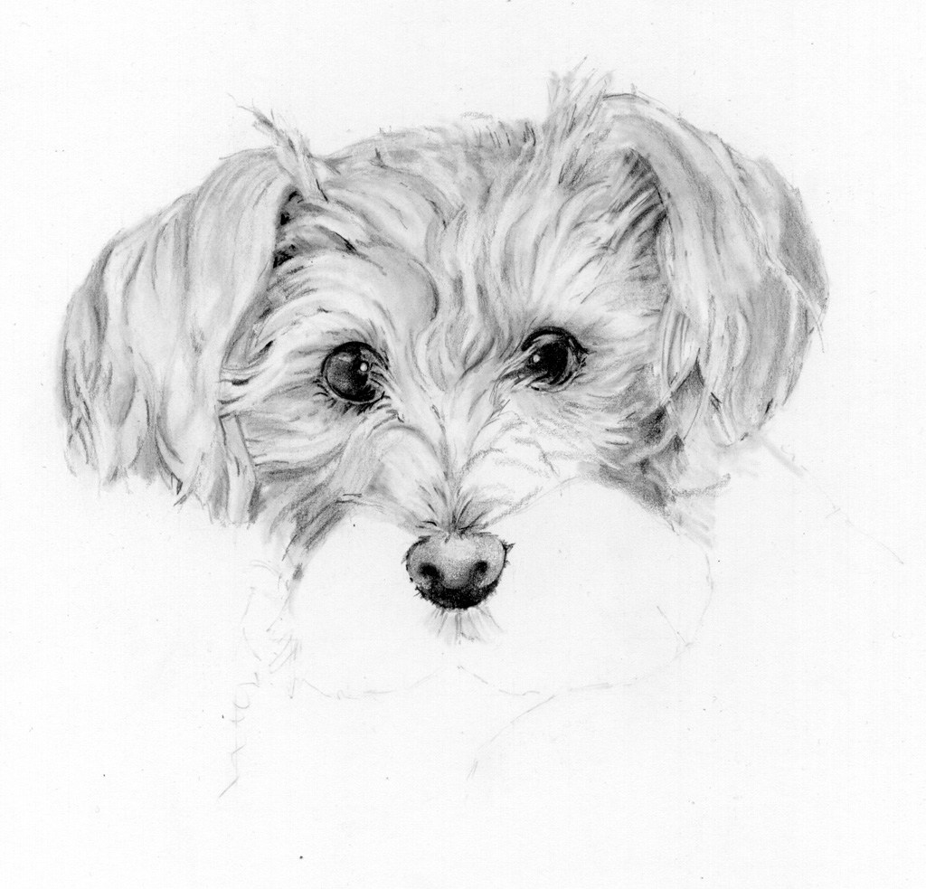 dog drawing pencil drawing of brother39s dog pencil sketch portraits drawing dog