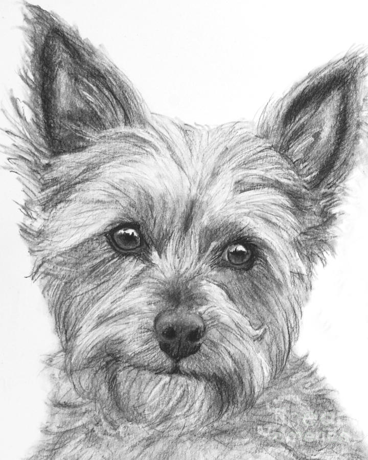 dog drawing yorkshire terrier art pencil drawing print a3 a4 sizes drawing dog